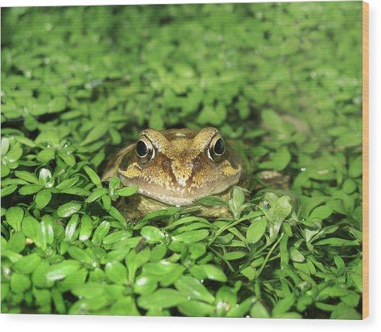 Common Frog Wood Print by Cordelia Molloy