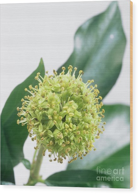 Common Ivy (hedera Helix) Flower Head Wood Print by Sheila Terry