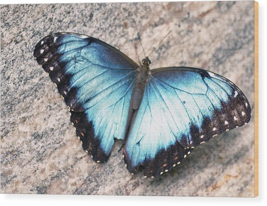 Common Morpho Wood Print by Cheryl Cencich