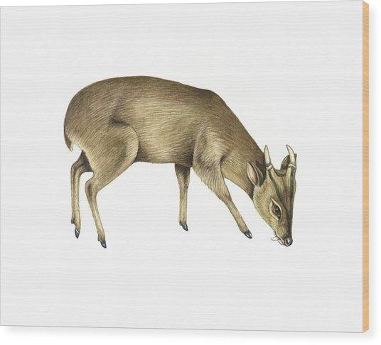 Common Muntjac Deer, Artwork Wood Print by Lizzie Harper
