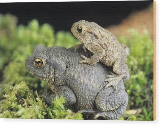Common Toads Mating Wood Print by David Aubrey