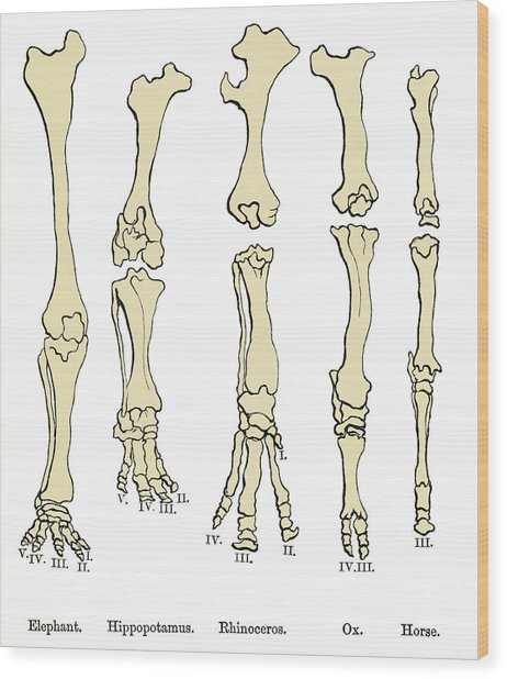 Comparison Of Animal Feet, Historical Art Wood Print by Sheila Terry
