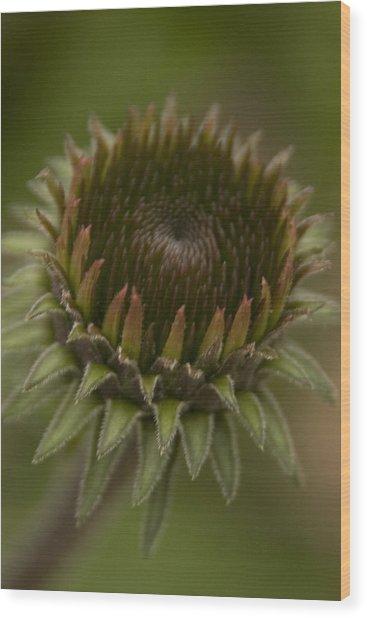 Cone Flower Studies 2012 - 3 Wood Print