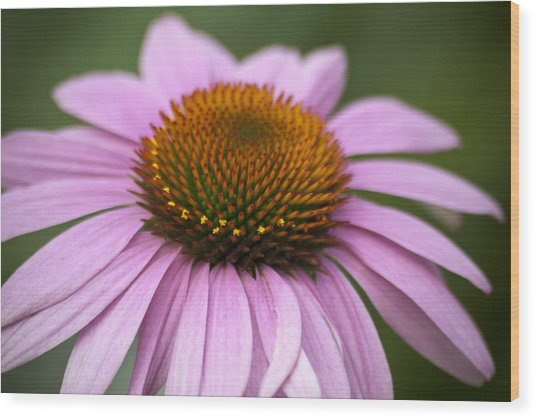 Coneflower Closeup Wood Print