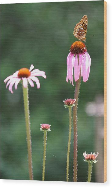 Coneflowers And Butterfly Wood Print