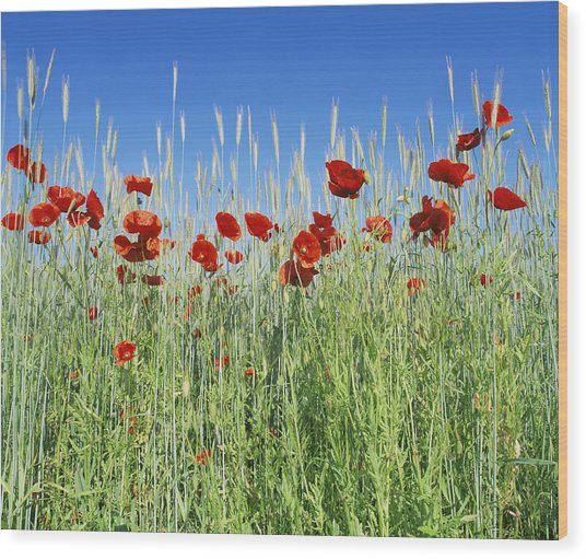 Corn Poppies (papaver Rhoeas) Wood Print by Bjorn Svensson