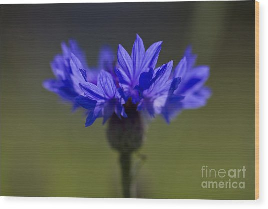 Cornflower Blue Wood Print