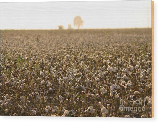 Cotton Field Donana Spain Wood Print by Perry Van Munster