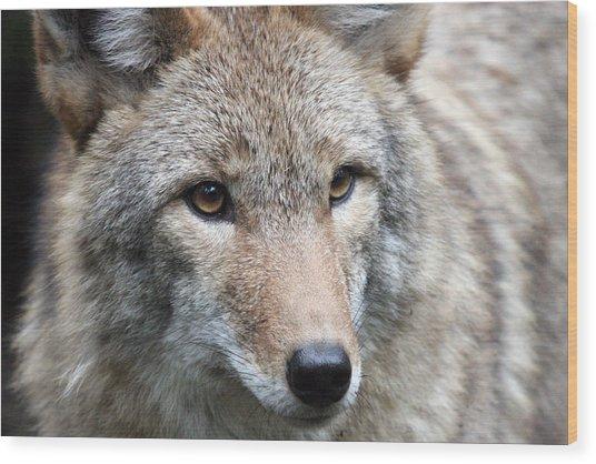 Coyote - 0034 Wood Print