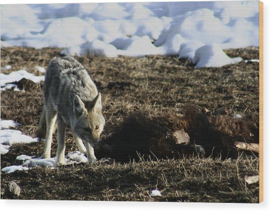 Coyote Yellowstone National Park Wood Print