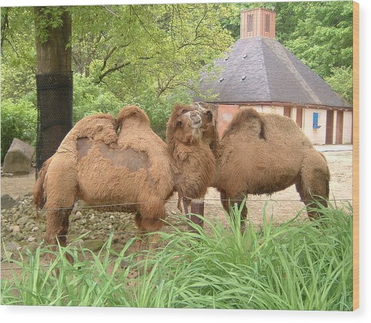 Cozy Camels - Cleveland Metro Zoo 1 Wood Print by S Taylor