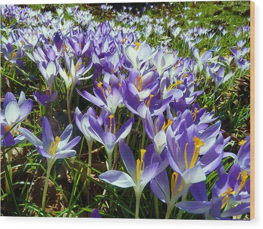 Crocuses Wood Print by Janice Drew