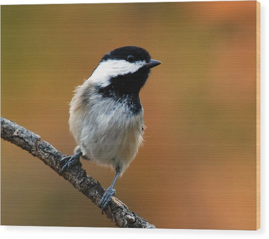 Curious Black-capped Chickadee Wood Print