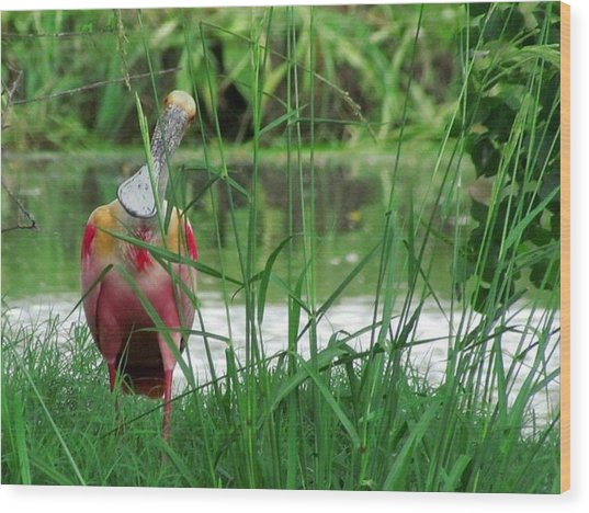 Curious Roseate Spoonbill Wood Print by Betty Berard