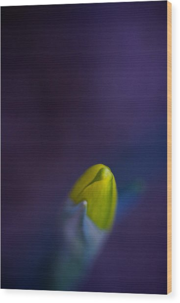 Wood Print featuring the photograph Daffodil by Jane Melgaard