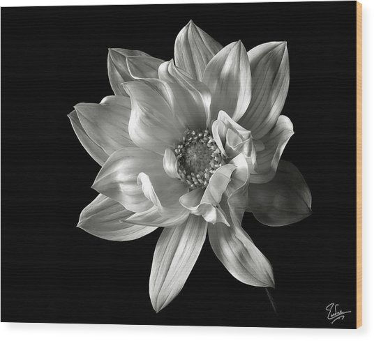 Dahlia In Black And White Wood Print