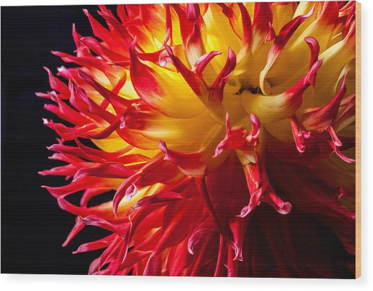 Dahlia In Flames Wood Print