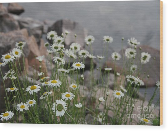 Daisies And How They Grow Wood Print
