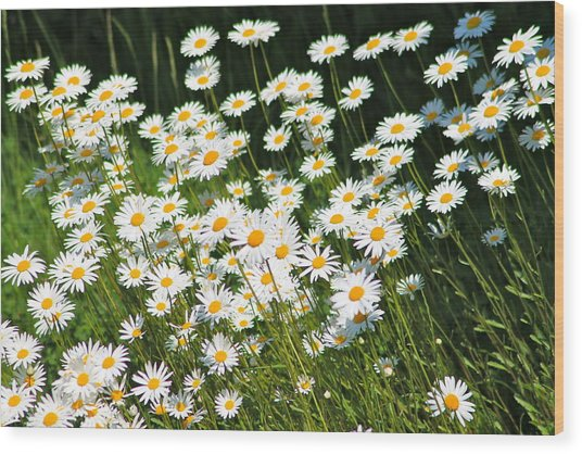 Daisy Day's Wood Print by Karen Grist
