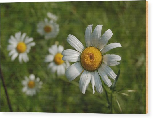 Daisy Face Wood Print