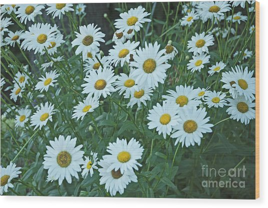 Daisy's Don't Tell Wood Print
