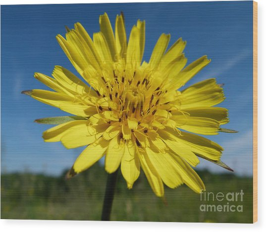 Dandelion Wood Print by Christine Stack