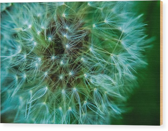 Dandelion Puff-green Wood Print