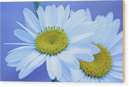 Darling Daisies Wood Print by Becky Lodes