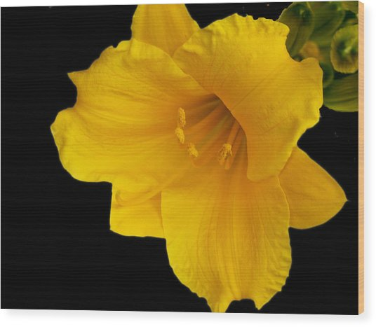 Day Lilly 3 Wood Print by Barry Jones