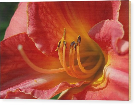 Daylilly Close Up Wood Print