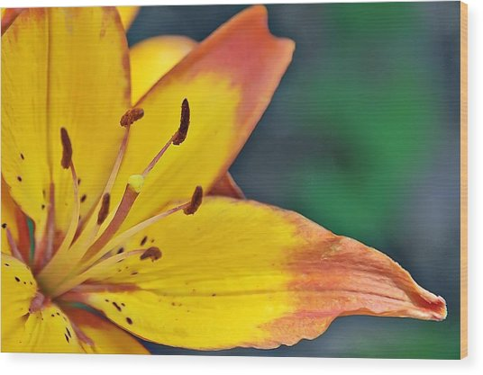 Daylily In Yellow Wood Print by Tina Karle