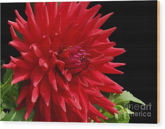 Decked Out Dahlia Wood Print