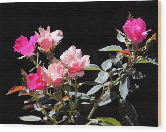 Delicate Old Fashion Pink Roses Wood Print by Linda Phelps