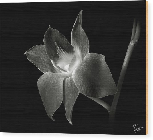 Dendrobium Orchid In Black And White Wood Print