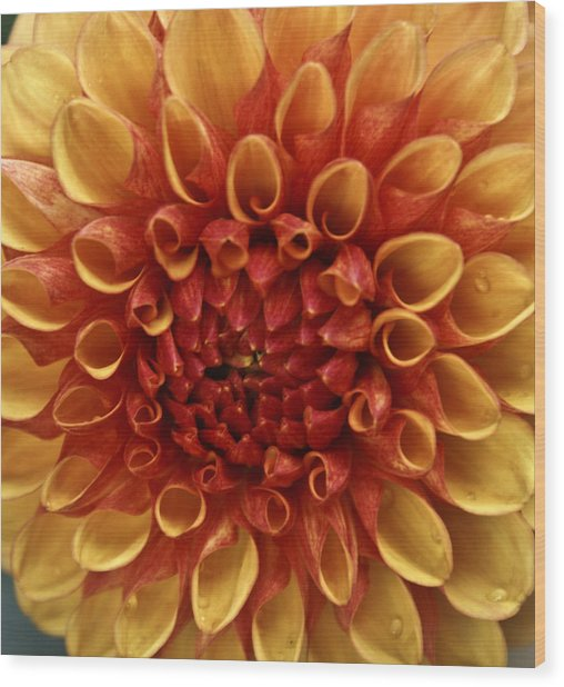 Dew Kissed Chrysanthemum Wood Print