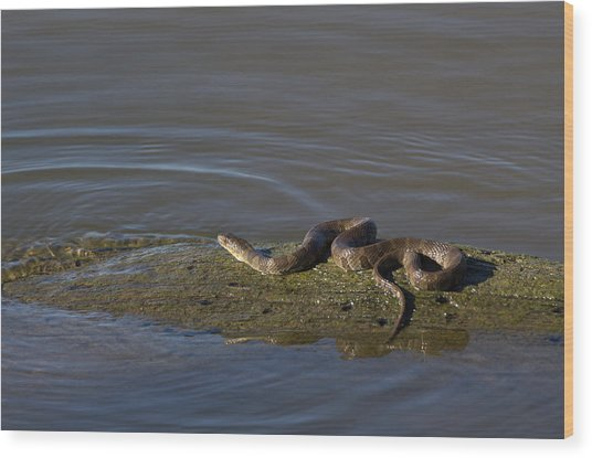 Diamondback Water Snake - 4011 Wood Print
