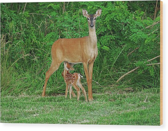 Doe And Nursing Fawn Wood Print by Fred Kirchhoff