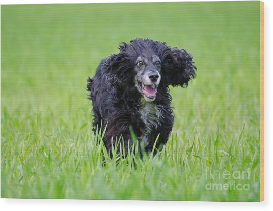 Dog Running On The Green Field Wood Print