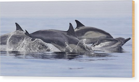 Dolphins At Play Wood Print