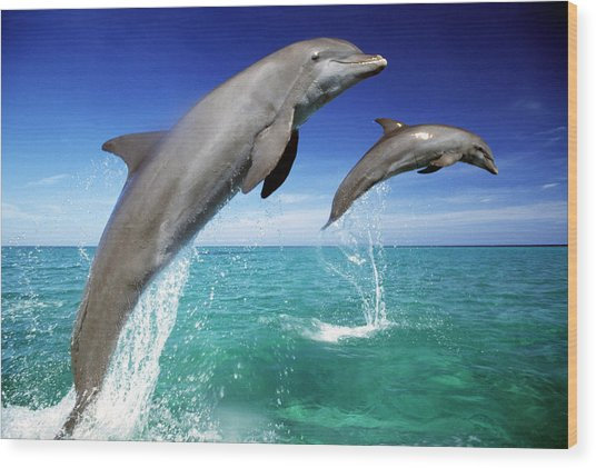 Dolphins, Tursiops Truncatus, Two Leaping Out Of Sea Wood Print by Mike Hill