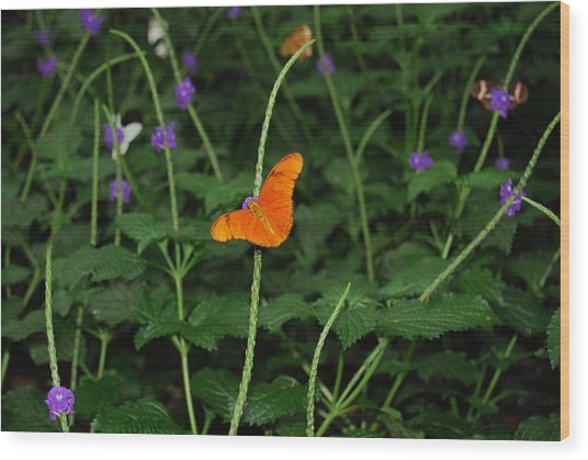 Dryas Iulia  Butterfly Wood Print by Kim French