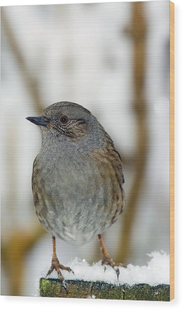 Dunnock Perched On A Garden Fence Wood Print by Duncan Shaw