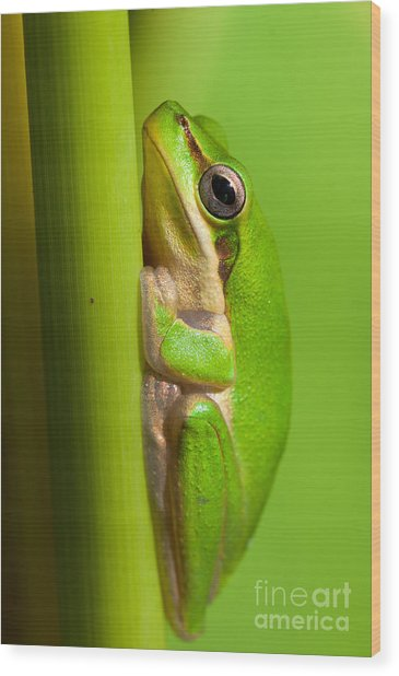 Dwarf Tree Frog Wood Print by Johan Larson