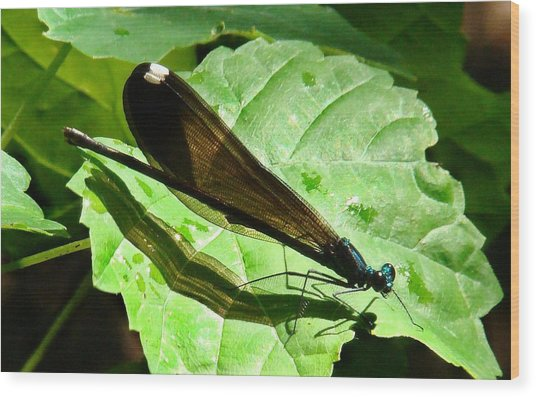 Ebony Jewelwing Damselfly II Wood Print by Bruce W Krucke