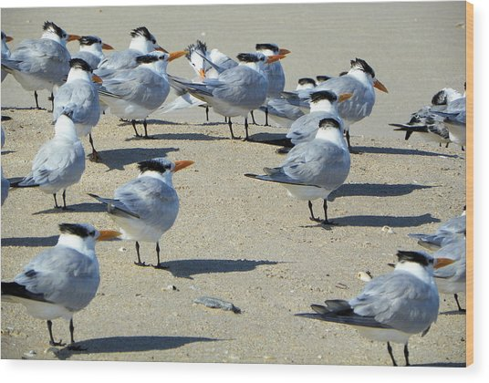 Elegant Terns Enjoying The Beach Wood Print by Suzie Banks