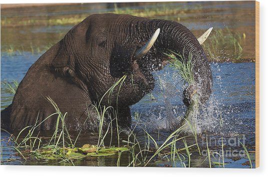 Elephant Eating Grass In Water Wood Print