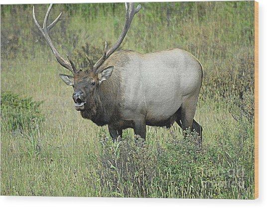 Elk Bugle Wood Print by Barry Shaffer
