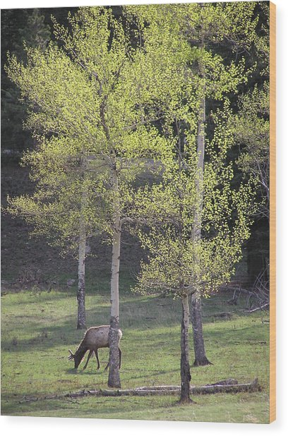 Elk Grazing In Early Spring Wood Print