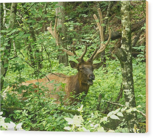 Elk In The Forest   Wood Print by Glenn Lawrence