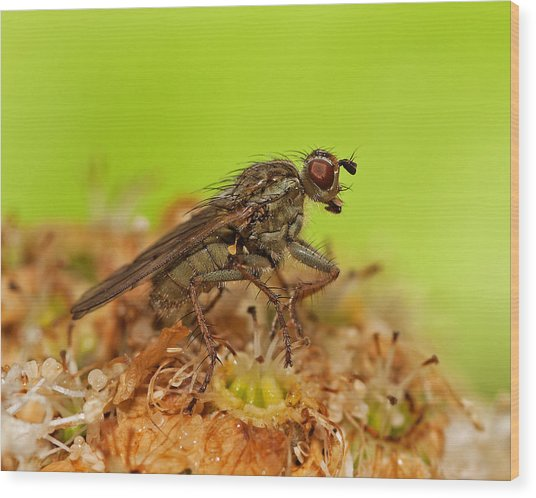 Empid Fly Wood Print by Paul Scoullar